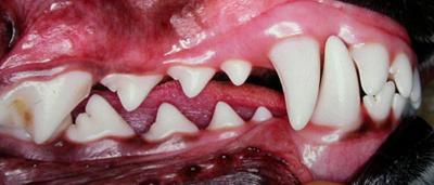 Pet Dental Care from American Animal Hospital Neenah ...